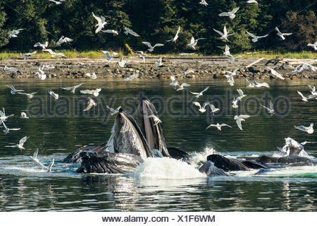 A group of humpback whales (Megaptera novaeangliae) collaboratively feeding on small fish in the waters of Alaska���s inside passage.  Seagulls fly close by to cherry-pick fish that have been chased to the surface by the whales. - Stock Photo