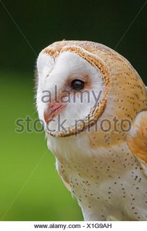 barn owl (Tyto alba), portrait, Germany, Bavaria - Stock Photo