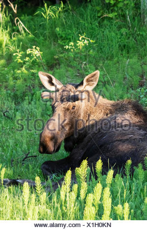Resting bull moose (alces alces) near Kincaid Park in spring, antlers just starting to grow, looking towards camera - Stock Photo