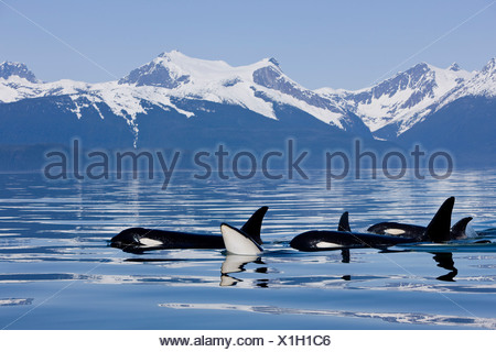 Orca Surface In Lynn Canal Near Juneau With Coast Range Beyond, Inside Passage, Alaska - Stock Photo