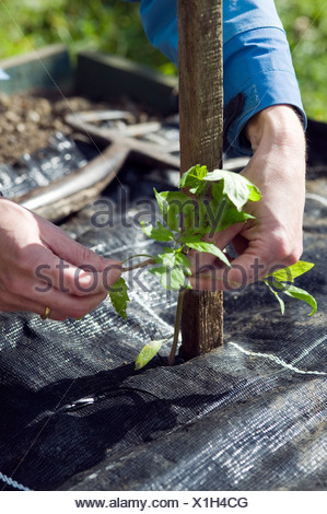 Person tying tomato plant seedling to wooden support above mulch sheet - Stock Photo