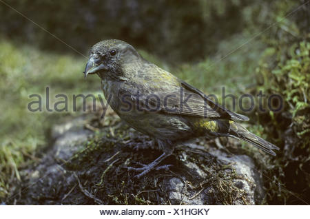 Red Crossbill adult female sits on a stone - Stock Photo