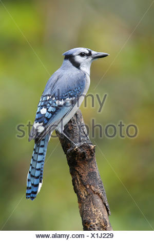 Blue Jay - Cyanocitta cristata - Adult - Stock Photo