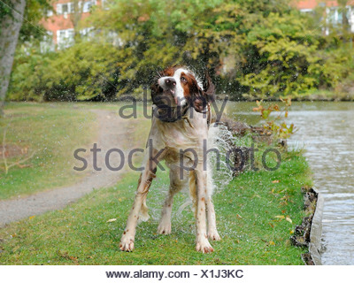 A red and white setter dog shaking himself - Stock Photo