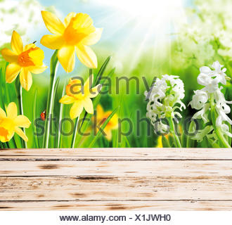 Colourful yellow spring daffodils and hyacinths with a red ladybug on the stem peeping over the top of a rustic wooden fence or tabletop on a hot sunny day - Stock Photo