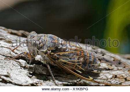 Song cicada (Cicadidae) on bark - Stock Photo