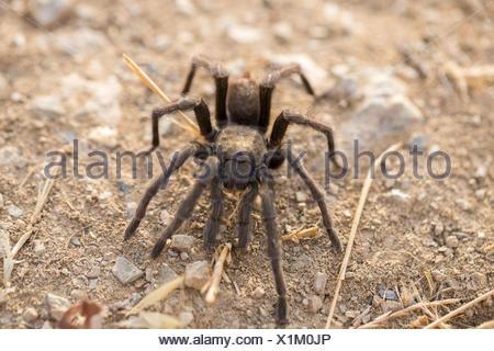 Tarantula - Aphonopelma. Santa Clara County, California, Fall 2016 - Stock Photo