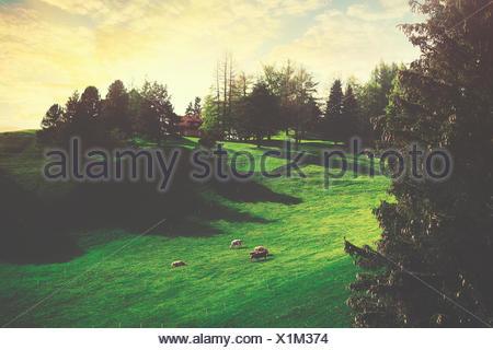 Sheep in field on farm, Vaduz, Liechtenstein - Stock Photo