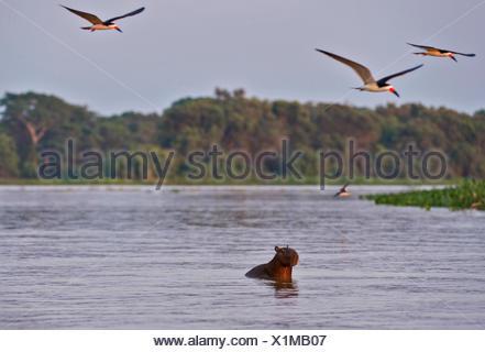 Black Skimmers (Rynchops niger) flying around a Capybara (Hydrochoerus hydrochaeris) swimming across a river, Pantanal, Brazil - Stock Photo
