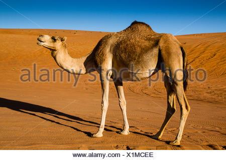 Dromedary camel (Camelus dromedarius), desert, Wahiba Sands, Ramlat al-Wahiba, Sharqiya Sands, Oman - Stock Photo