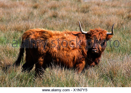 Domestic cattle - highland cattle - scottish highland cattle (Bos primigenius f. taurus) - Stock Photo