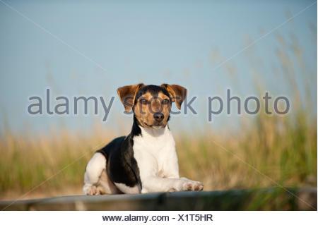Lying Dansk-Svensk Gardshund or Danish-Swedish Farmdog - Stock Photo