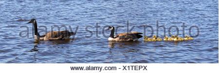 animal, bird, geese, goose, gosling, familiy, family, water, game, tournament, - Stock Photo