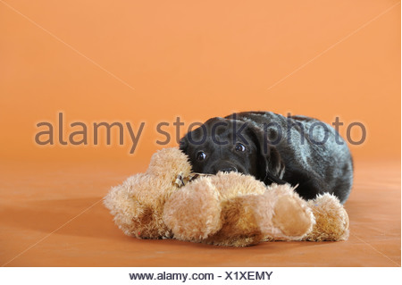 Black Labrador Retriever puppy lying with a teddy bear - Stock Photo