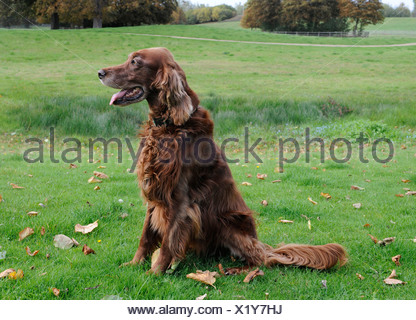 An obedient red setter patiently waiting for instructons - Stock Photo
