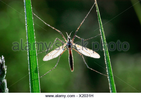 cabbage cranefly, brown daddy-long-legs (Tipula spec.), single animal on blades of grass with hoar frost, Germany, North Rhine- - Stock Photo