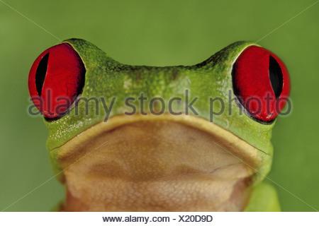 Barro Colorado Island Panama Red-eyed tree frog Agalychnis callidryas Panama - Stock Photo