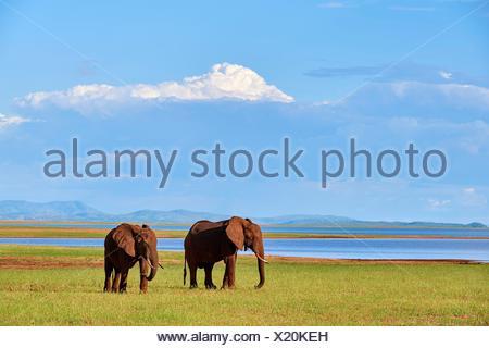 African elephants (loxodonta africana) grazing on shore of Lake Kariba. Matusadona National Park, Zimbabwe. - Stock Photo