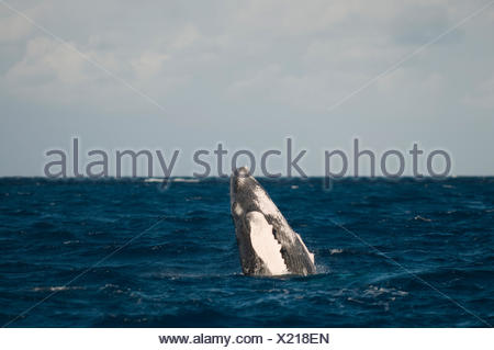 A humpback whale breaching. - Stock Photo