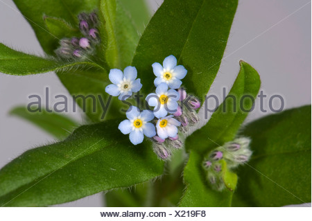 Wild forget me not, Myosotis arvensis, blue flowers with yellow and white centres, flower buds and upper leaves - Stock Photo