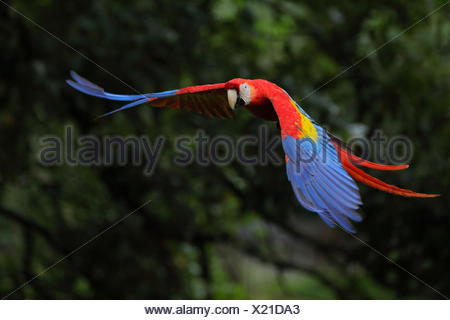 Scarlet Macaw (Ara macao) flying in Costa Rica - Stock Photo