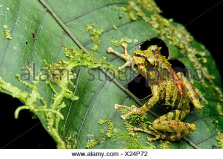 Neotropical frog (Pristimantis eriphus), female, Andean cloud forest, Cosanga, Ecuador - Stock Photo