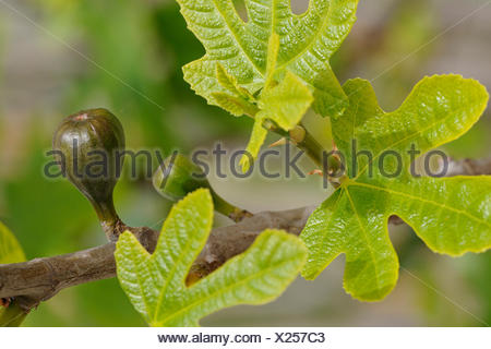 edible fig, common fig (Ficus carica), branch with fig, Spain, Balearen, Majorca - Stock Photo