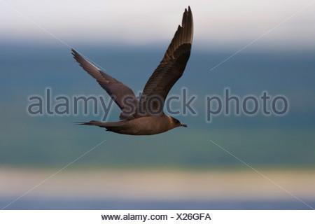 Parasitic Jaeger, Arctic Skua, Parasitic Skua (Stercorarius parasiticus), dark coloured morph flying - Stock Photo