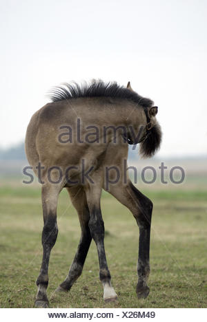young horse, foal - Stock Photo