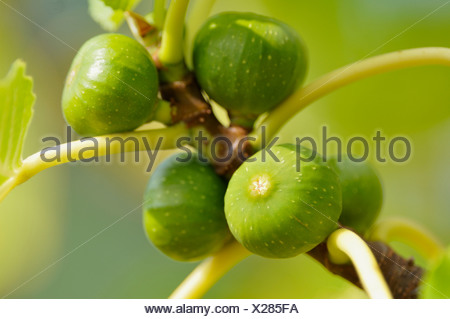 edible fig, common fig (Ficus carica), figs on a tree, Germany - Stock Photo