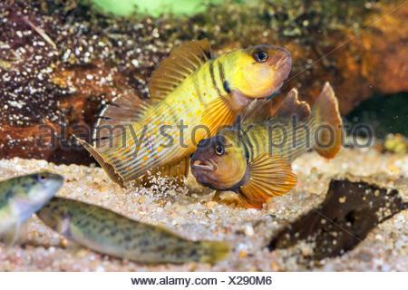 Blaubrust-Springbarsch, Blaubrustspringbarsch (Etheostoma camurum), rivalisierende Maennchen mit Weibchen | Bluebreast Darter  ( - Stock Photo