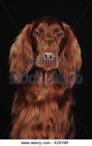 Irish Red Setter Portrait - Stock Photo