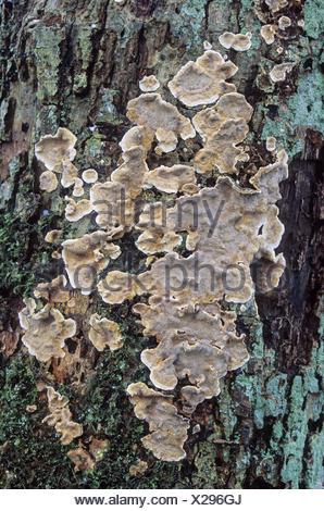 Bleeding oak-Crust reddens at rubbing the growth - Stock Photo