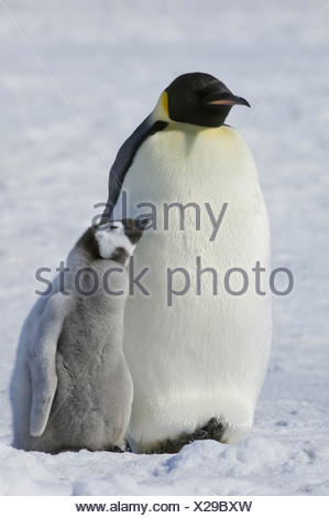 Two Emperor penguins an adult bird and a chick side by side on the ice - Stock Photo