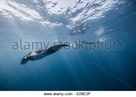 Reef Manta, underwater view, Cancun, Mexico - Stock Photo