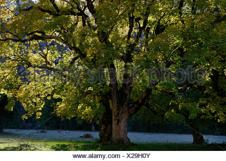 Old sycamore (Acer pseudoplatanus) tree in autumn, backlight, Eng, Hinterriß, Rißbachtal, Tyrol, Austria - Stock Photo