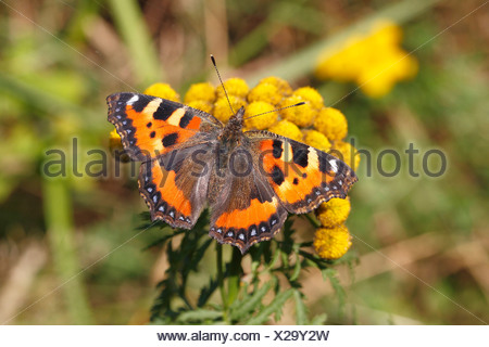 Small Tortoiseshell (Aglais urticae) butterfly with open wings, North Rhine-Westphalia, Germany - Stock Photo