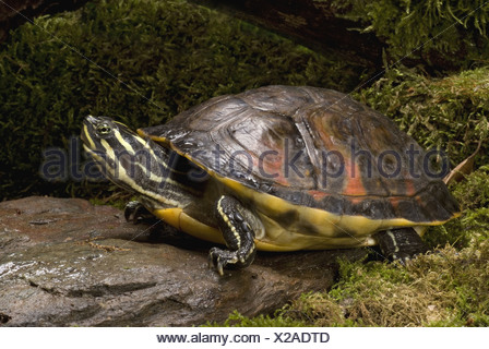 Florida Red-bellied Cooter, Pseudemys nelsoni - Stock Photo