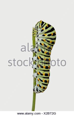 Swallowtail caterpillar - Stock Photo