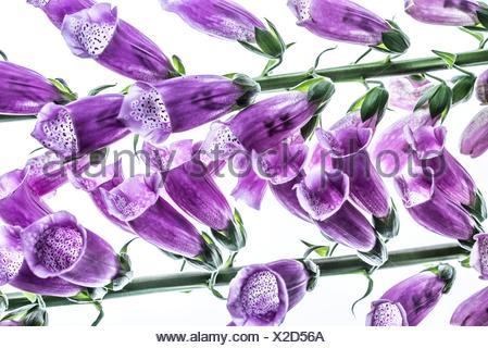 Purple foxglove - Stock Photo