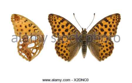 Queen of Spain Fritillary - Issoria lathonia - Stock Photo