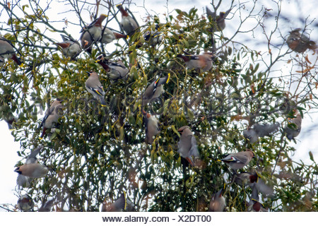 Bohemian waxwing (Bombycilla garrulus), feeding on mistletoe berries, Germany, Bavaria - Stock Photo