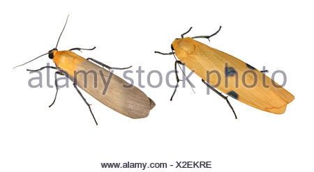 72.041 (2051) Four-spotted Footman - Lithosia quadra - Stock Photo
