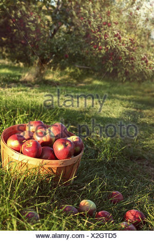 Bushel of red apples in the orchard - Stock Photo