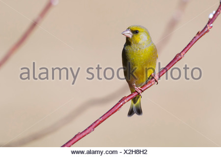 european greenfinch, carduelis chloris - Stock Photo