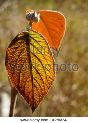 Leaf of a Wayfaring Tree (Viburnum lantana), Bavaria, Germany, Europe - Stock Photo
