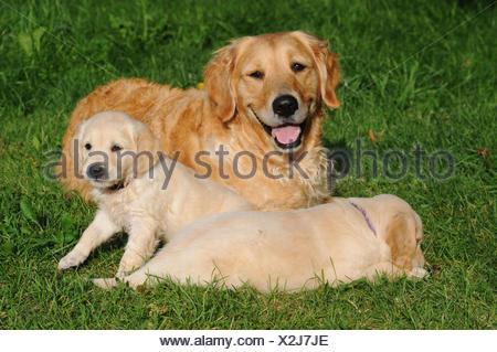 Golden retriever with dog puppies in the garden - Stock Photo