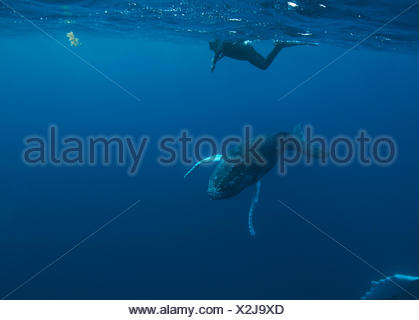 A snorkeler swims with a humpback whale calf. - Stock Photo