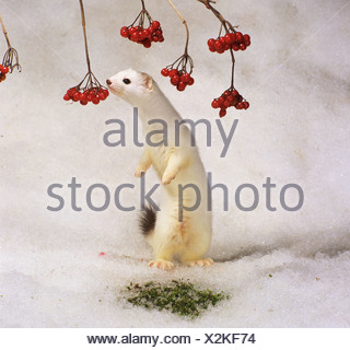 ermine - standing in snow / Mustela erminea - Stock Photo