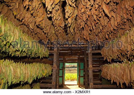 PINAR DEL RIO: TOBACCO LEAVES DRYING SHED IN VINALES - Stock Photo